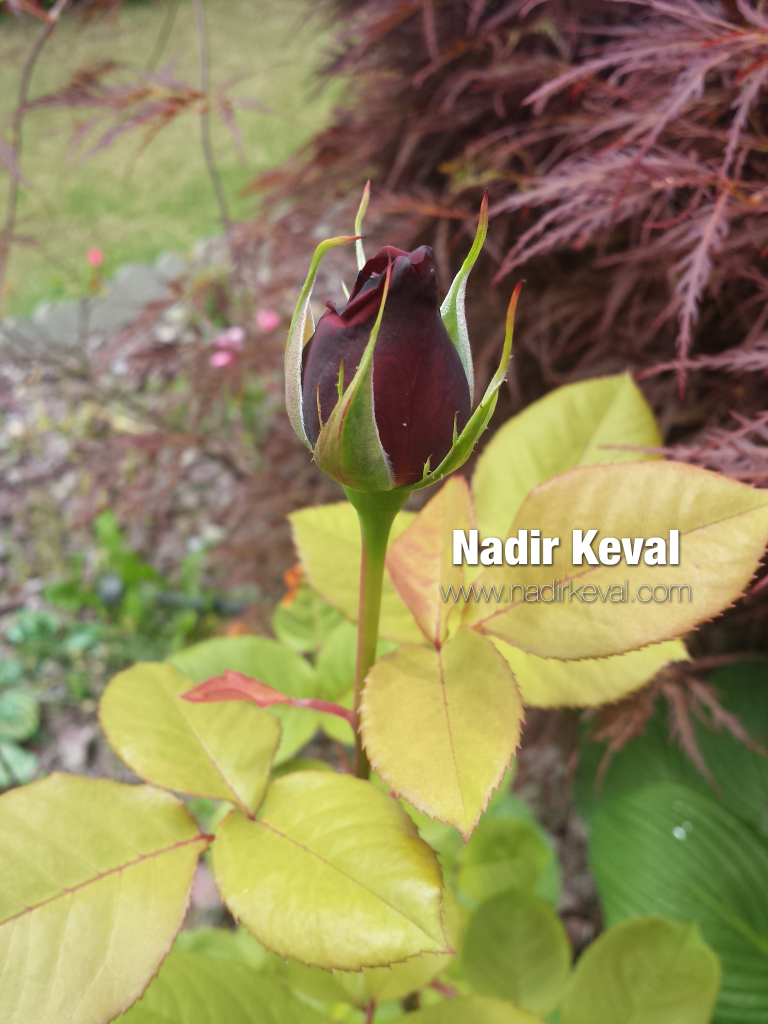 The Most Beautiful Flower - watermarked